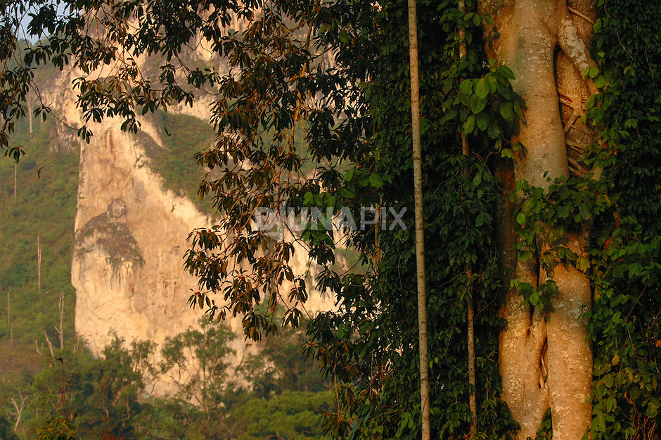 Detail of fruiting figs and karst escarpment east of Lake Tebo, Sankulirang