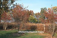 Washington Hawthorns (Crataegus phaenopyrum) with berries  Marion Co.   IL