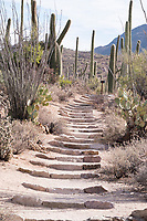 A trail goes through saguaro cactus in the hills of Saguaro National Park West (Tucson Mountain District) near Tucson, Arizona, USA.