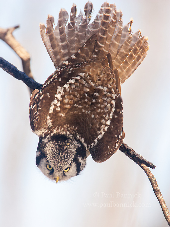 A Northern Hawk Owl snaps from a perched position into a dive.<br />Northern Hawk Owls possess keen eyesight, allowing them to locate prey the size of a vole from a half- mile away.