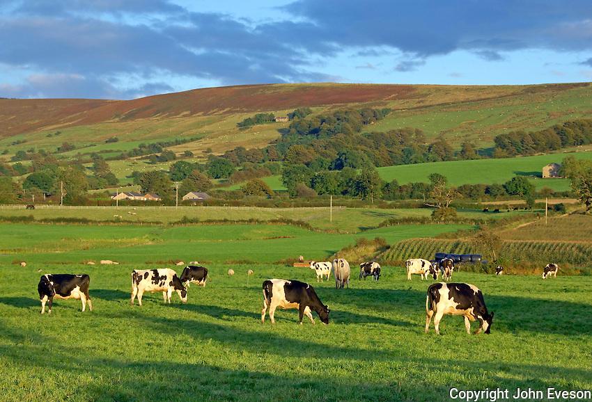 Holstein dairy cows grazing in evening light near Longridge, Lancashire.