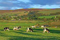 Holstein dairy cows grazing in evening light near Longridge, Lancashire.