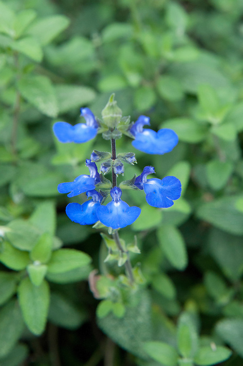 Salvia chamaedryoides, mid October.