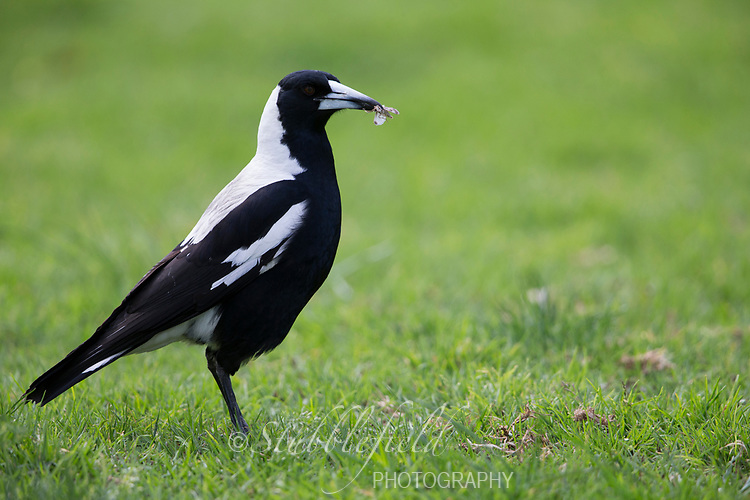 Australian Magpie (Gymnorhina tibicen telonocua), White-backed group, adult foraging in the grass at Rymill Park in Adelaide, Australia.