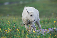 Mountain Goat,Oreamnos americanus, young in wildflowers,Logan Pass,Glacier National Park, Montana, USA
