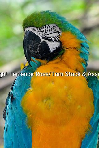 Blue-and-yellow Macaw (Ara ararauna)) found  from South America to panama.
