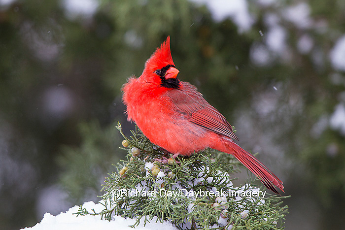 01530-21617 Northern Cardinal (Cardinalis cardinalis) male in Juniper tree (Juniperus keteleeri) in winter Marion Co. IL