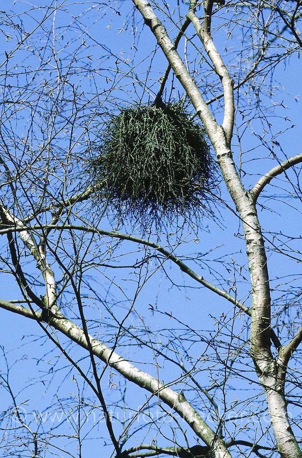 Hexenbesen, Donnerbusch, Birken-Hexenbesen, Verwachsungen in der Krone einer Birke, Betula, verursacht durch einen Schlauchpilz, Schlauchpilze, Ascomycota, Taphrina betulina, witch's broom , witches' broom, Witch-broom, birch