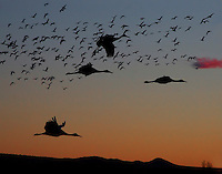 Evening fly-in with Sandhill cranes and Snow geese returning for their evening roost. Bosque del Apache National Wildlife Refuge in southern Socorro County, New Mexico.