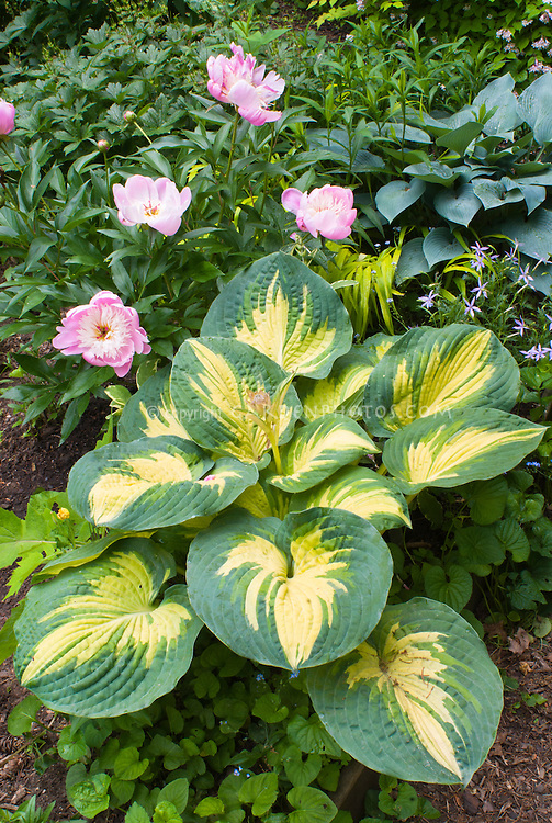 Hosta Great Expectations and pink Paeonia peonies Bowl of Beauty, Hosta Hadspen Blue, Isotoma, Viola, Hakonechloa Allgold