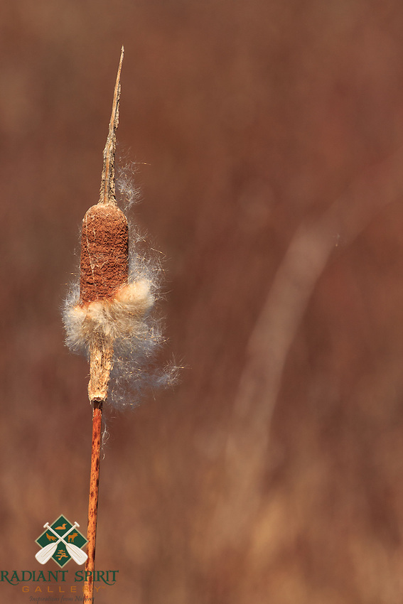 &quot;Cattail in Spring&quot;<br />