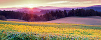 Sunrise and Alpine Vineyards. Near Alpine, Oregon.