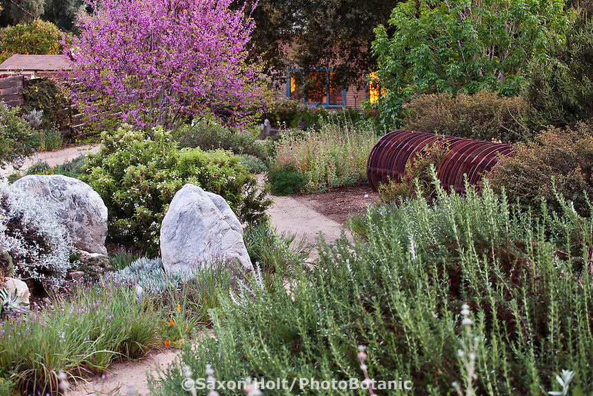 Rocks by pathway in mixed border in Southern California front yard, drought tolerant native plant garden with Eriogonum fasciculatum (Eastern Mojave buckwheat)