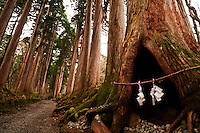 In the avenue of ancient cryptomeria trees leads to the Inner Shrine at Togakushi, sacred paper garlands hang at the opening of a hollow tree, Nagano, Japan.<br />