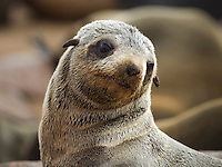 Portrait of a young Fur Seal