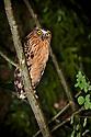Buffy Fish Owl {Ketupa ketupa} perched in tree at night. Daum Valley, Sabah, Borneo.