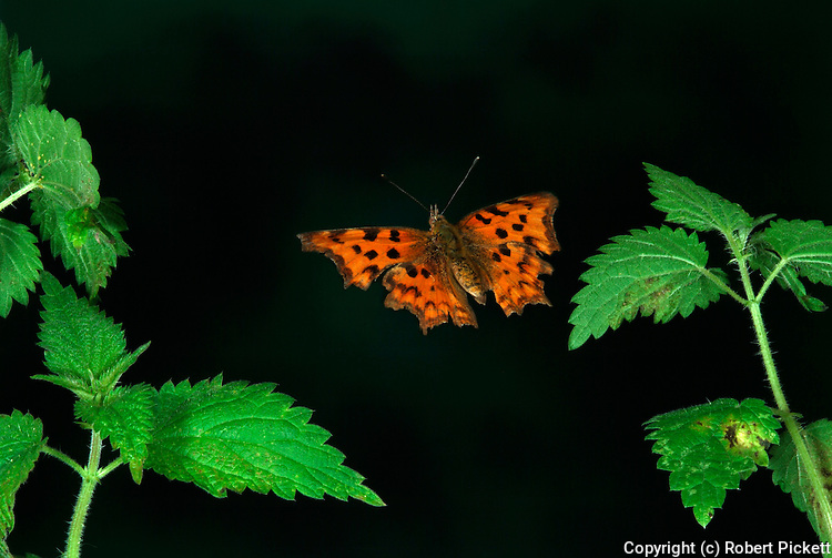 Comma Butterfly, Polygonia c-album, in flight over stinging nettles, high speed photographic technique, foodplant, flying.United Kingdom....