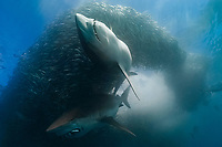 copper sharks, bronze whalers, or narrowtooth sharks, Carcharhinus brachyurus, gulping mouthfuls of sardines or Southern African pilchards, Sardinops sagax ocellatus, as they charge through a baitball, showering fish scales and blood into the water, sardine run, South Africa, Indian Ocean
