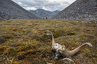 Dall sheep horns in the Arctic National Wildlife Refuge, Brooks Range, Arctic Alaska.