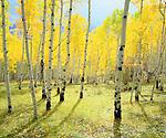 USA, Colorado, Rocky Mountains.   Fall colors of Aspen trees.