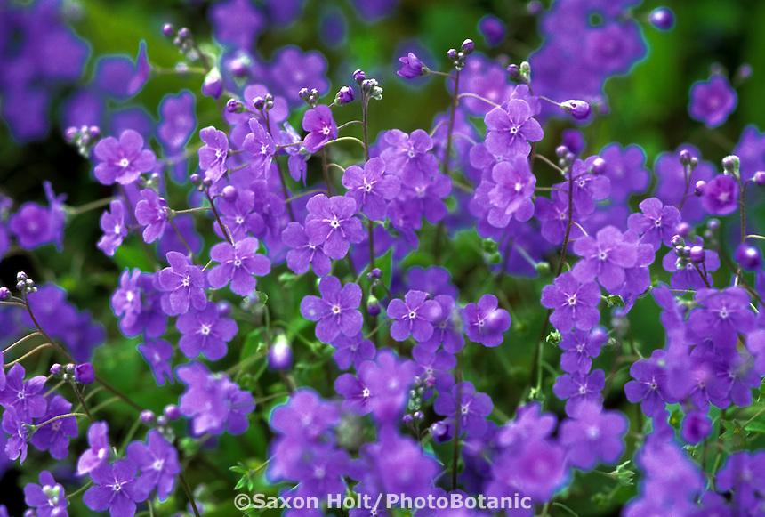 Omphalodes cappadocia blue flowering perennial