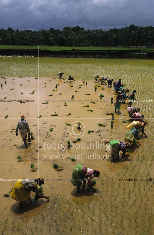 INDIA Karnataka, women replant rice seedlings at farm near Mangalore during Monsoon / INDIEN Karnataka, Reisanbau, Frauen pflanzen Reissetzlinge im Monsun um