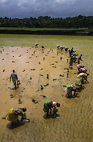 INDIA Karnataka, women replant rice seedlings at farm near Mangalore during Monsoon / INDIEN Karnataka, Reisanbau, Frauen pflanzen Reissetzlinge im Monsun um