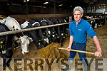 Noel Murphy  feeding silage to the cows on his farm in Milltown on Tuesday.