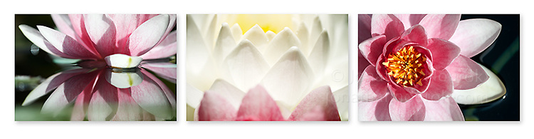 Close-up photographic triptych of white / magenta water lily flowers. Images 265, 266 and 267.