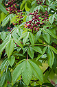 Aesculus pavia (Red Buckeye), early June. A red-flowered chestnut native to southern USA.