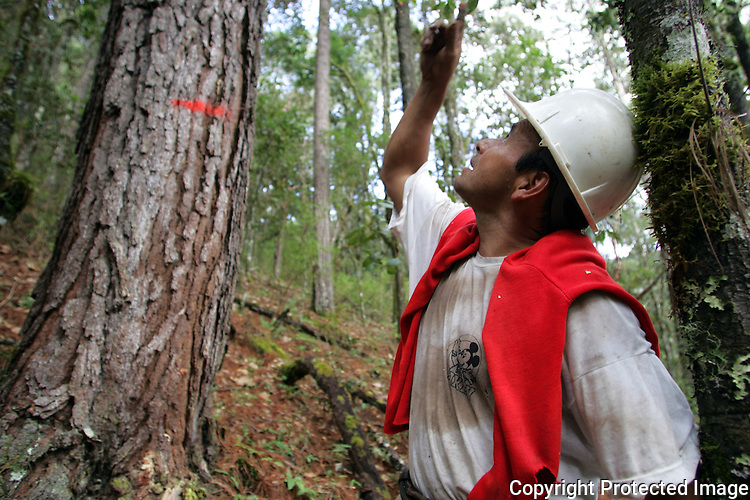 Mexico (11/03/2005): Zapotec Indian peasants stand in their pine forest in the village of Trinidad, Oaxaca state...© Heriberto Rodriguez..NO ARCHIVO-NO ARCHIVE-ARCHIVIERUNG VERBOTEN!  ..