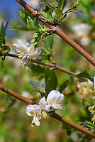 Lonicera fragrantissima, Winter honeysuckle in flower in spring