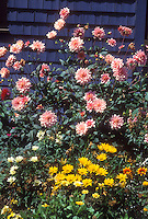 Pink dahlias, gazania, against blue house in late summer flower garden, early fall