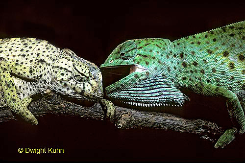 CH21-034z  African Chameleon - dominant green biting at recessive pale, territorial confrontation  - Chameleo senegalensis