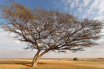 Israel, Acacia Raddiana tree in the Negev desert