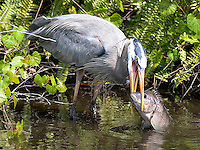 March 22, 2014 - Orlando, FL, U.S: A Great Blue Heron (Ardea herodias) attempts to eat a fish near the 6th green during third round golf action of the Arnold Palmer Invitational presented by Mastercard held at Arnold Palmer's Bay Hill Club & Lodge in Orlando, FL