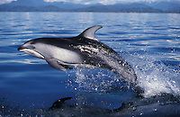 kz3005. Pacific White-sided Dolphin (Lagenorhynchus obliquidens) leaping. British Columbia, Canada, Pacific Ocean..Photo Copyright © Brandon Cole.  All rights reserved worldwide.  www.brandoncole.com..This photo is NOT free. It is NOT in the public domain...Rights to reproduction of photograph granted only upon payment of invoice in full.  Any use whatsoever prior to such payment will be considered an infringement of copyright...Brandon Cole.Marine Photography.http://www.brandoncole.com.email: brandoncole@msn.com.4917 N. Boeing Rd..Spokane Valley, WA 99206   USA..tel: 509-535-3489