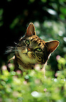 Tabby Cat in garden, backlight.United Kingdom....