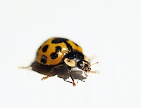 Yellow lady bug close-up.