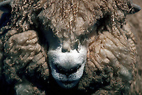 Detail of head of woolly sheep at farm show, New Zealand