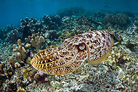 A large Broadclub cuttlefish, Sepia latimanus, changes its colors and texture as it hovers over a shallow reef and rubble seascape. Batanta Island, Raja Ampat, Papua, Indonesia, Pacific Ocean