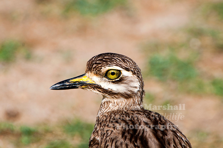 The Indian stone-curlew or Indian thick-knee (Burhinus indicus) is a species of bird in the family Burhinidae. It was formerly included as a subspecies of the Eurasian stone-curlew. This species is found in the plains of India, Pakistan, Nepal and Sri Lanka. They have large eyes and are brown with streaks and pale marks making it hard to spot against the background of soils and rocks. Mostly active in the dark, they produce calls similar to the true curlews, giving them their names. Bundala National Park - Sri Lanka.