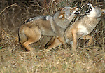Coyote, Canis latrans, pair fighting, playing in field, controlled situation, Minnesota.USA....