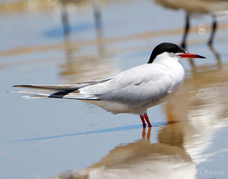 Forster's tern in breeding plumage