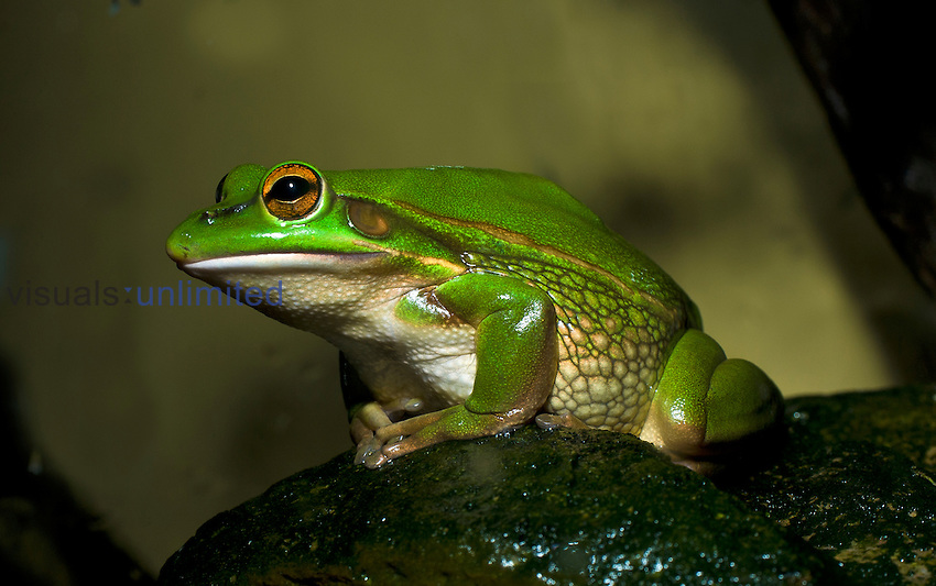 Green and Golden Bell Frog (Litoria aurea), a vulnerable species in Australia, but introduced to New Zealand and several other Pacific Islands