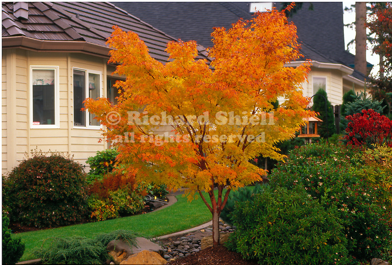 Photo of oral bark japanese maple, losing of virgin nude pics