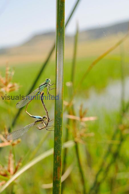Island Bluetail Damselflies (Ischnura genei) mating.