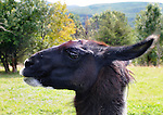 """Llama named """"Gead"""", that is among the inhabitants of Heather Ridge Farm, in Preston Hollow, NY on Saturday, Sept. 7, 2013. Photo by Jim Peppler. Copyright Jim Peppler 2013 all rights reserved."""