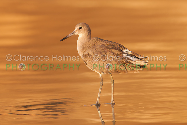Willet (Catoptrophorus semipalmatus) foraging for food with sunset colored reflection on the surf in the Scripps Coastal Reserve, La Jolla, California