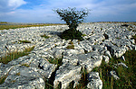 Tree growing in limestone scenery, Norber, Yorkshire Dales national park, England